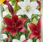 Bulbi de flori Crin Asiatic Duo Red&White 2buc