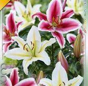 Bulbi de flori Crin Oriental Duo Pink&White 2buc