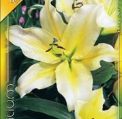 Bulbi de flori Crin Oriental hybrid White-yellow 1buc
