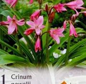 Bulbi de flori Crinum Powelii 1buc