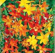 Bulbi de flori Crocosmia small flowering 10buc