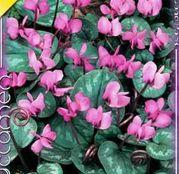 Bulbi de flori Cyclamen coum 3buc
