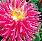 Bulbi de flori Dalia Cactus Pink 1buc