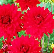 Bulbi de flori Dalia Decorative Red 1buc