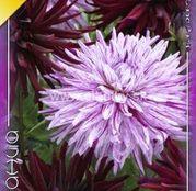 Bulbi de flori Dalia Cactus Duo Chat Noir & Hy Trio 2buc