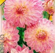 Bulbi de flori Dalia Decorative Gerrie Hoek 1buc
