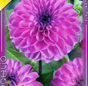 Bulbi de flori Dalia Decorative Stolze von Europe 1buc