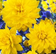 Bulbi de flori Dalia Decorative Yellow 1buc