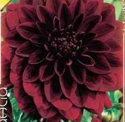 Bulbi de flori Dalia Decorative Arabien Night 1buc