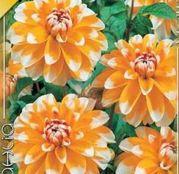 Bulbi de flori Dalia Decorative Bahama Apricot 1buc