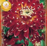 Bulbi de flori Dalia Decorative Akita 1buc