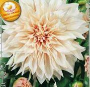 Bulbi de flori Dalia Decorative Cafe au Lait 1buc