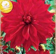 Bulbi de flori Dalia Decorative Babylon Red 1buc