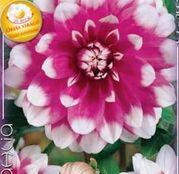Bulbi de flori Dalia Decorative Jean Marie 1buc