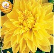 Bulbi de flori Dalia Decorative Kelvin Floodlight 1buc