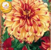 Bulbi de flori Dalia Decorative Lady Darlene 1buc