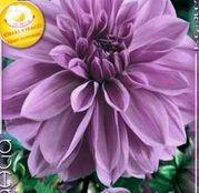 Bulbi de flori Dalia Decorative Lilac Time 1buc