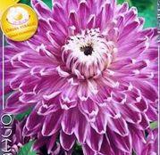 Bulbi de flori Dalia Decorative Vancoover 1buc