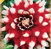 Bulbi de flori Dalia Decorative Duet 1buc