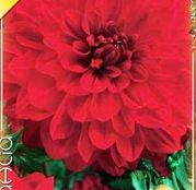 Bulbi de flori Dalia Decorative Garden Wonder 1buc