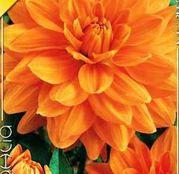 Bulbi de flori Dalia Decorative Glorie van Noordwijk 1buc