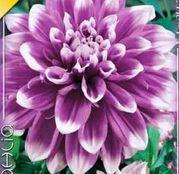 Bulbi de flori Dalia Decorative Mistery Day 1buc