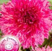 Bulbi de flori Dalia Decorative Myrtle's Folly 1buc