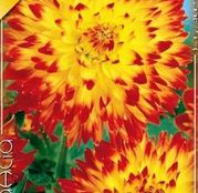 Bulbi de flori Dalia Decorative Procyon 1buc