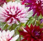 Bulbi de flori Dalia Decorative Rebecca's World 1buc