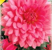 Bulbi de flori Dalia Decorative Rosella 1buc