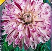 Bulbi de flori Dalia Decorative Smokey 1buc