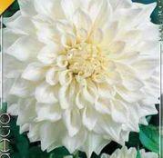 Bulbi de flori Dalia Decorative White Perfection 1buc