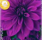 Bulbi de flori Dalia Decorative Thomas Edison 1buc