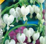 Bulbi de flori Dicentra spectabilis white 1buc
