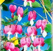 Bulbi de flori Dicentra spectabilis pink 1buc