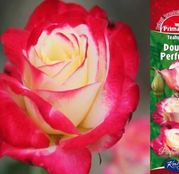 Butasi de trandafiri Teahibrid Double Perfume