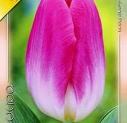 Bulbi de flori Lalea Dynasty 10buc