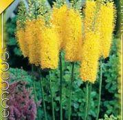Bulbi de flori Eremurus Stenophyllus 1buc