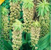 Bulbi de flori Eucomis Bicolor 1buc