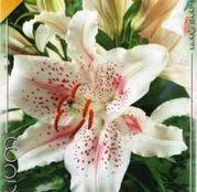 Bulbi de flori Crin Oriental Hybrid Extravaganza 1buc