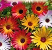 Seminte flori Floare de cristal (Mesembryanthemum criniflorum) mix 0.5g