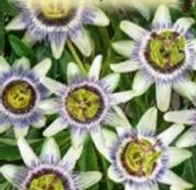 Seminte flori Floarea pasiunii (Passiflora caerulea) 3sem