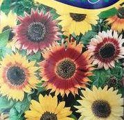 Seminte flori Floarea soarelui inalta (Helianthus annuus) mix de culori 2g