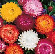 Seminte Flori de Paie (Helichrysum bracteatum) amestec de culori 0.5g