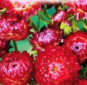 Seminte Flori de Pai rosii 0.4g