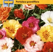 Seminte flori Floare de piatra Double - Mix Amestec de culori (Portulaca grandiflora) 0.5g