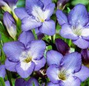 Bulbi de flori Frezii Single Blue 10buc