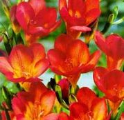 Bulbi de flori Frezii Single Red 10buc