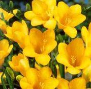 Bulbi de flori Frezii Single Yellow 10buc
