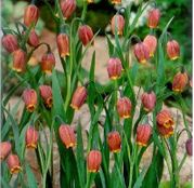 Bulbi de flori Fritillaria uva-vulpis 10buc